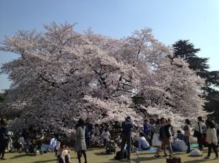 tokyo-sakura-cerisiers-volants