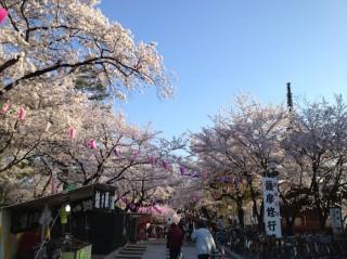 japon-sakura-kawagoe